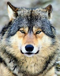 Wolf, the original dog. Thanks to Discover Your World (FB) Wolf Photos, Wolf Pictures, Animal Pictures, Wolf Love, Wolf Spirit, Spirit Animal, Beautiful Creatures, Animals Beautiful, Tier Wolf
