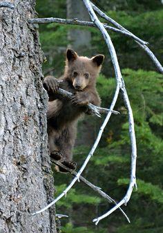 Wild black Bear Cub 1DSC_1496 by paulhypnos, via Flickr