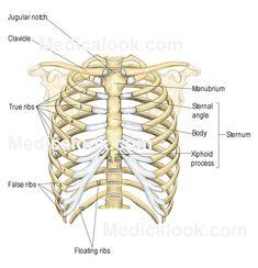 human body and bone jewelry on pinterest : human ribs diagram - findchart.co