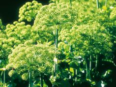 Angelica has been cultivated as a medicinal herb and the leaves and stems of Angelica archangelica are edible (but be careful to avoid consuming its root, which is poisonous), with a sweet flavor similar to celery. The biennial loves woodland conditions, so grow it in moist soil and partial shade.
