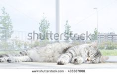 silver cat at the sun, beautiful female -  new @shutterstock #cats #kittens #pets #puppy #siberian #gatos #katze #silver #animal