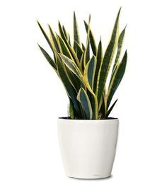 Small Ornamental Plant - Black Gold Snake Ornamental Plant - Sansevieria Black Gold (Web)