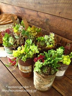 Succulents in cans