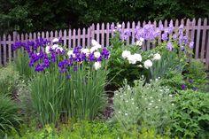 peonies and iris   Irises and Peonies Along Cedar Fence
