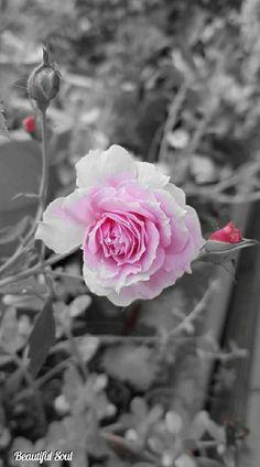 Colour Splash, Rose Wallpaper, Black White Red, True Love, Flower Power, Beautiful Flowers, Bloom, Shades, Angel