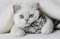 white pretty kitty, look at those blue eyes!