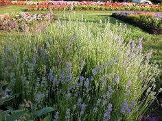Martha's advice on growing lavender in zone 4 #plants