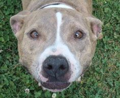 ADOPTED>NAME: Sarah ANIMAL ID: 35461162 BREED: Pit SEX: female EST. AGE: 2 yr Est Weight: 46 lbs Health: Heartworm neg Temperament: dog friendly, people friendly ADDITIONAL INFO:RESCUE PULL FEE: no fee Intake date: 5/25 Available: Now