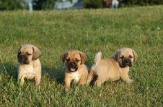 puggle puppies I want a doggie no babys anytime for us but a doggie I really really really want! Puggles For Sale, Puggle Puppies For Sale, Cute Little Puppies, Cute Dogs And Puppies, Doggies, Cutest Dogs, Baby Animals, Cute Animals, Baby Pugs
