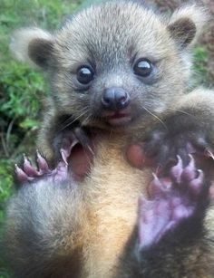 This adorable creature is a baby Olinguito, a relative of a raccoon that's got a teddy bear-like face and a body about the size of a house cat. The rust-colored, fluffy mammal lives in the treetops of the Andes Mountains and weighs two pounds, making it the most petite member of the raccoon family.