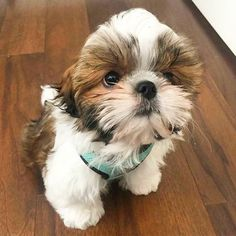 Follow us if you are Shih Tzu lover! To be featuredFollow usTag us #shihtzucorner Photo owner: @ralphie_the_sith_tzu by shihtzucorner