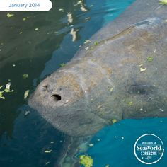 The Florida Fish and Wildlife Conservation Commission rescued this manatee from chilly waters. Then, our Rescue Team transported him back to SeaWorld for care and rehabilitation. #365DaysOfRescue