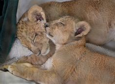 The lions sleep tonight - 2-month-old Ken and Dixie take a catnap after playtime.