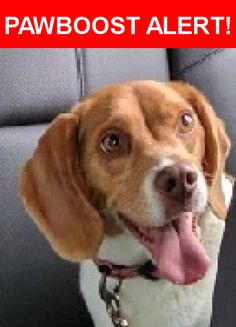 Is this your lost pet? Found in Vancouver, WA 98686. Please spread the word so we can find the owner!  Beagle   Nearest Address: Near NE Salmon Creek Ave & NE 136th Way