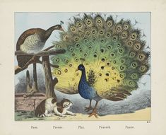 Paon. / Pavone. / Pfau. / Peacock. / Paauw, firma Jos. Scholz, Anonymous, 1829 - 1880