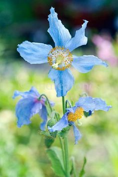 Meconopsis betoncifolia. Large light blue flowered perennial poppy with ruffled petals
