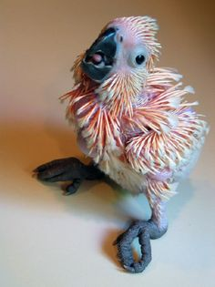 ✯ Moluccan Cockatoo Baby  -  OK, so he's not a feathered beauty YET, but he will be someday.  Poor ugly little baby!