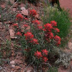 "Desert Paintbrush (Castilleja chromosa) - 4""-22"" tall"