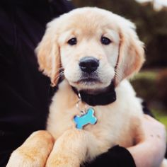 Golden retriever puppy, Cooper