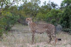 #cheetah, < Christa Niederer, Google+ #LitaPalas