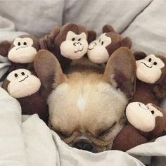 Leo and the Monkees, French Bulldog @frenchieleo on instagram
