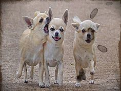 Chihuahua Basset Hound Mix