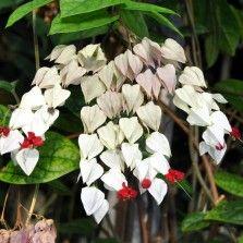 Tanaman White Bleeding Heart Vine