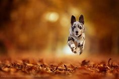 Canine action images are my absolute favourite thing to photograph. The freedom you can see in their expressions that split second as they leap into the air in excitement, and being able to freeze that moment into a single photograph is amazing. It's a lot of fun for the photographer, dog, owners and is a …