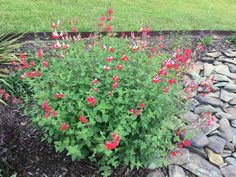Blackcurrant Sage (Salvia microphylla 'Hot Lips') From Missy M in SC June '16