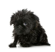Brussels Griffon! I just met a little girl puppy named Gertrude yesterday! So ugly its cute! HA!