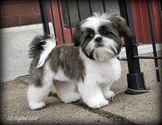 Shih Tzu Hairdressing & Grooming Styles + Join Group