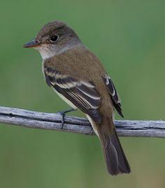 Pip the Southwestern Willow Flycatcher poem