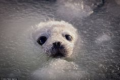 Frosty top: The seal pup emerges from the water with a thin layer of ice sprinkled across ...