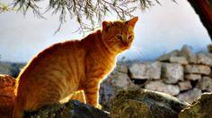 cat in the sun. Folegandros. greece