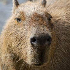 Amphibians, Mammals, Capybara, Ocelot, Tropical Forest, Animal Facts, Aquatic Plants, Bird Species