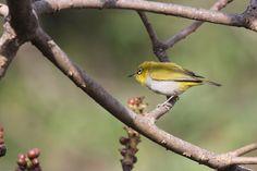 My Birding Trails...: Yellow.....