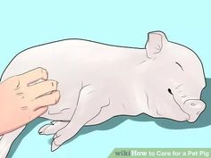 How to Care for a Pet Pig. Pigs are a lot cleaner than their popular reputation indicates and they can make super pets. They are sociable and intelligent, and can become very obedient, but they are also curious, stubborn, and — if treated p. Potbelly Pig Care, Mini Potbelly Pigs, Pet Pigs, Baby Pigs, Raising Farm Animals, Miniature Pigs, Sheep Pig, Pot Belly Pigs, Pig Pen