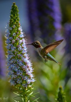 Hummingbird By Asif Islam On 500px.