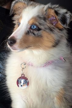 Blue-eyed Blue Merle Sheltie puppy ~ WONDER WHERE THE BLUE EYES CAME FROM - NOT CONSISTENT W/SHELTIE BREED ~
