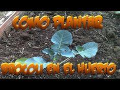 Como Plantar Brocoli En El Huerto || Huerto Organico || La Huertina De Toni - YouTube