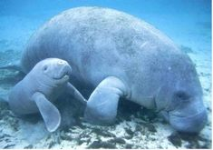 Manatee ( or sea cow ) plus baby ❤️ Beautiful Creatures, Animals Beautiful, Animals Tumblr, Manatee Florida, Sea Cow, Wale, Ocean Creatures, Tier Fotos, Pisces