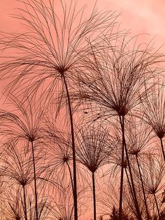 "Plant Silhouettes by Glenn Cecero  Plant Silhouettes – North Carolina, USA  Featured – ""The world as we see it or as we missed it"", ""Monochrome In Color Group"", ""Natures Symphony of Trees and Flowers"", ""Stunning Skyscapes"", ""The Beginners Corner"", ""The Silhouettes Group"", ""Tuesday Afternoon"", ""The Compact Group"", ""Superbly Visual"", ""Feelin' Good Group"""