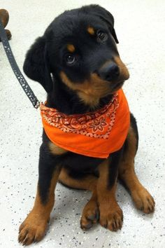 1000 Images About Rottweiler Names For Boys And Girls On