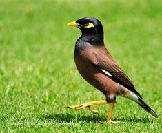mynah bird dubai