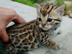 Bengal kitten looking like a little Leopard!