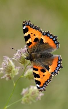 Butterfly Conservation: Where are our Small Tortoiseshells? Butterfly Games, Butterfly Kisses, Beautiful Bugs, Beautiful Butterflies, Continents And Oceans, Types Of Butterflies, Butterfly Species, Butterfly Painting, Tier Fotos