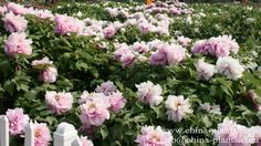 Blog - 21 Colorful Peonies to Update Your Outdoor and Indoor Decor