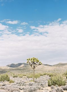 Victoria Phipps gorgeous Joshua Tree photography.  A lone desert tree amongst the mountains and brush shot on film. #joshuatree