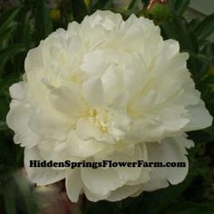 Peony Allan Rogers a large, double white peony named in honor of Allan Rogers the peony grower and author of a wonderful peony book. Developed by Bill Seidl another notable peony expert. We don't have a bloom date rating yet as it is so new. White Peonies, White Roses, Love Flowers, Beautiful Flowers, Peonies For Sale, Types Of Roses, Hardy Perennials, Peony Flower, Flowers