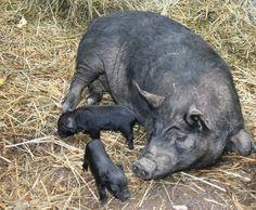 Farm Platform - Pig #2